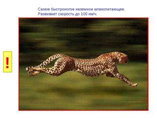 И Б Самое быстроногое наземное млекопитающее. Развивает скорость до 100 км/ч.