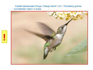 И Б И Б Р Л Самая маленькая птица. Самцы весят 1,6 г. Половину длины составля