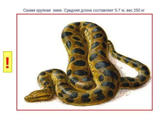 И Б Самая крупная змея. Средняя длина составляет 5-7 м, вес 250 кг ! Г Р У Н...