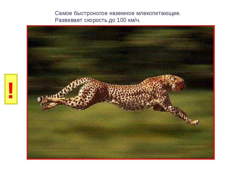 И Б Самое быстроногое наземное млекопитающее. Развивает скорость до 100 км/ч....