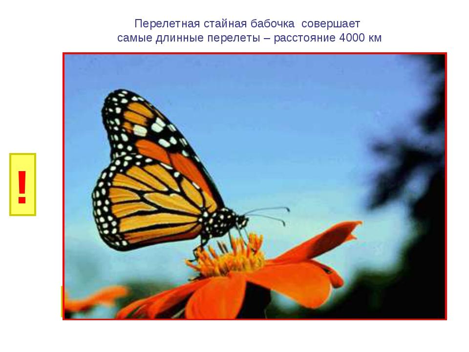 И Б Перелетная стайная бабочка совершает самые длинные перелеты – расстояние...