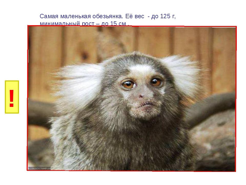 И Б И Г Р У Самая маленькая обезьянка. Её вес - до 125 г, минимальный рост –...