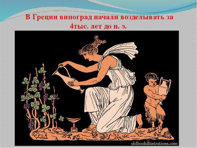 В Греции виноград начали возделывать за 4тыс. лет до н. э.