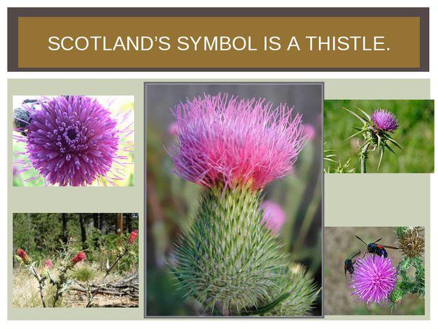 SCOTLAND'S SYMBOL IS A THISTLE.