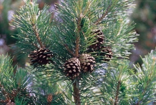 http://upload.wikimedia.org/wikipedia/commons/8/88/Pinus_sylvestris_branch.jpg?uselang=ru
