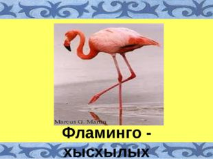 Фламинго - хысхылых