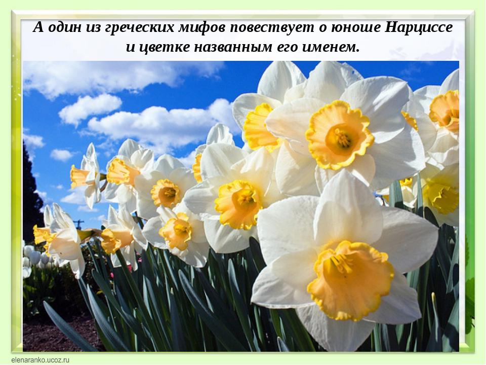 А один из греческих мифов повествует о юноше Нарциссе и цветке названным его...