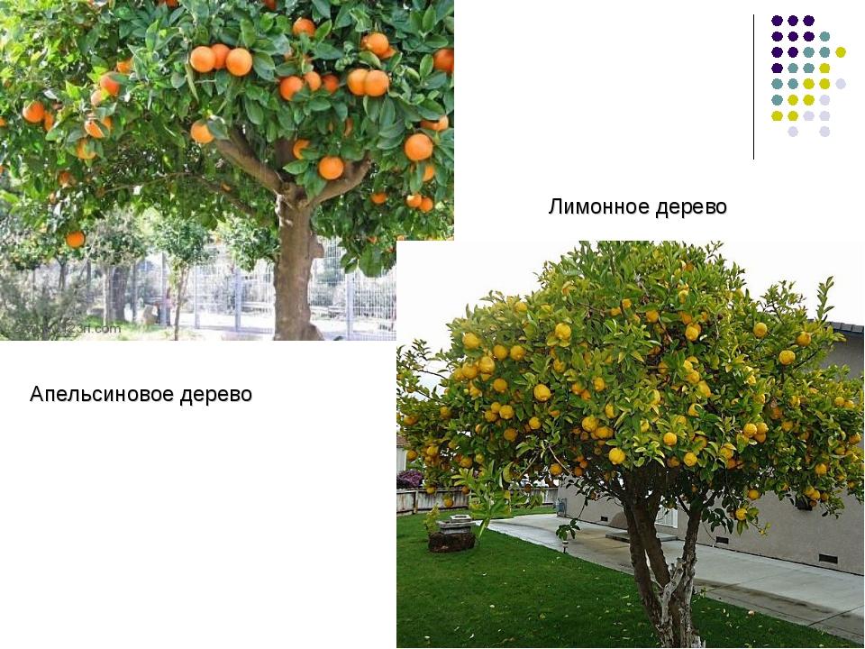 Апельсиновое дерево Лимонное дерево