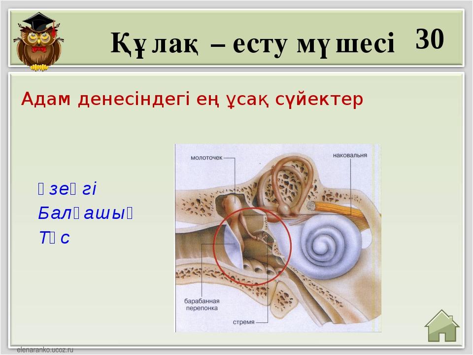 30 Үзеңгі Балғашық Төс Адам денесіндегі ең ұсақ сүйектер Құлақ – есту мүшесі
