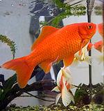 https://upload.wikimedia.org/wikipedia/commons/thumb/e/e9/Goldfish3.jpg/150px-Goldfish3.jpg