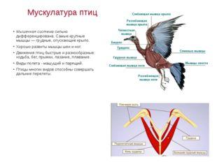 Мускулатура птиц Мышечная система сильно дифференцирована. Самые крупные мышц