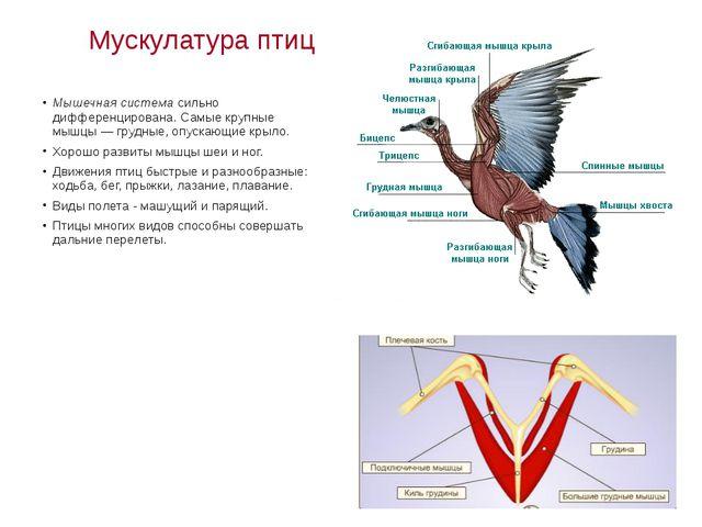 Мускулатура птиц Мышечная система сильно дифференцирована. Самые крупные мышц...
