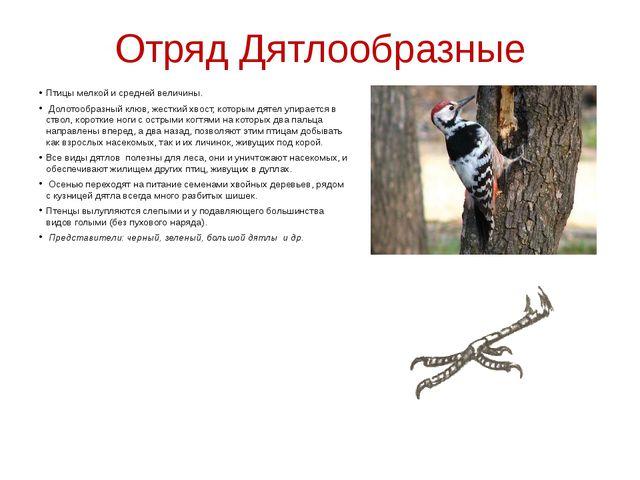 Отряд Дятлообразные Птицы мелкой и средней величины. Долотообразный клюв, жес...