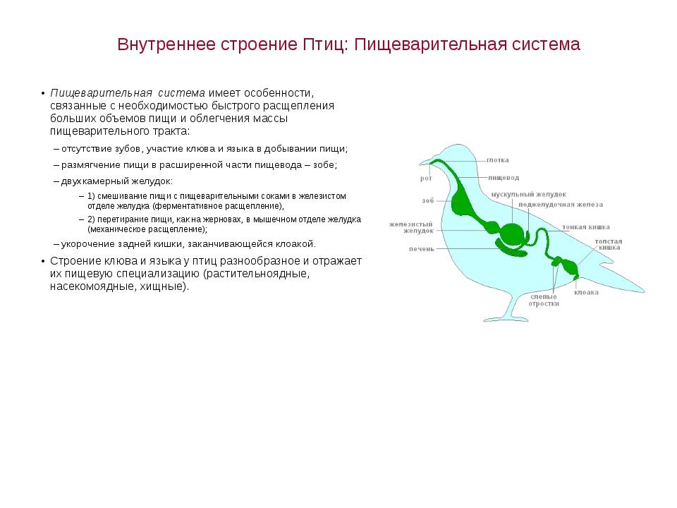 Внутреннее строение Птиц: Пищеварительная система Пищеварительная система име...