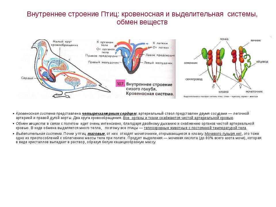 Внутреннее строение Птиц: кровеносная и выделительная системы, обмен веществ...