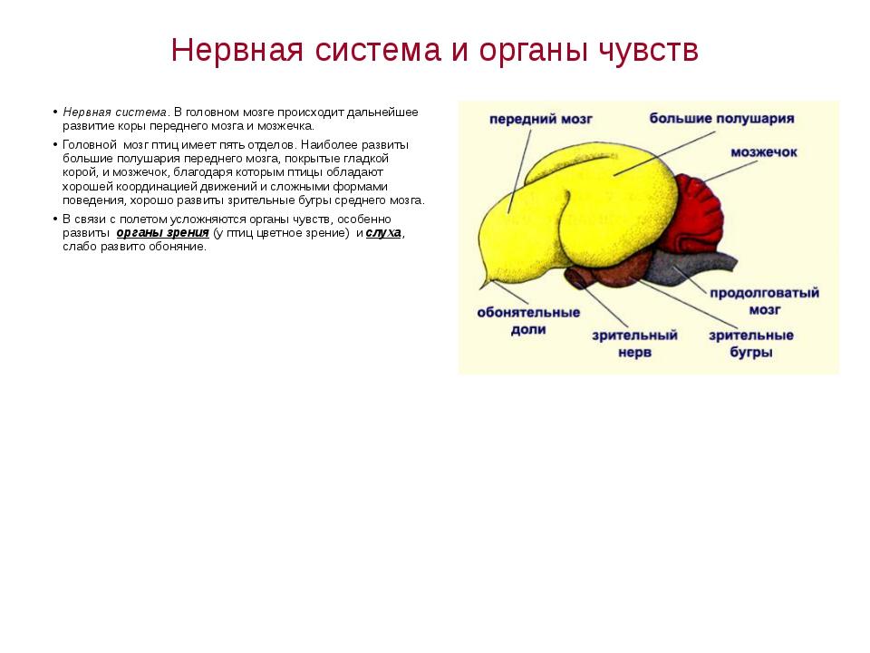 Нервная система и органы чувств Нервная система. В головном мозге происходит...