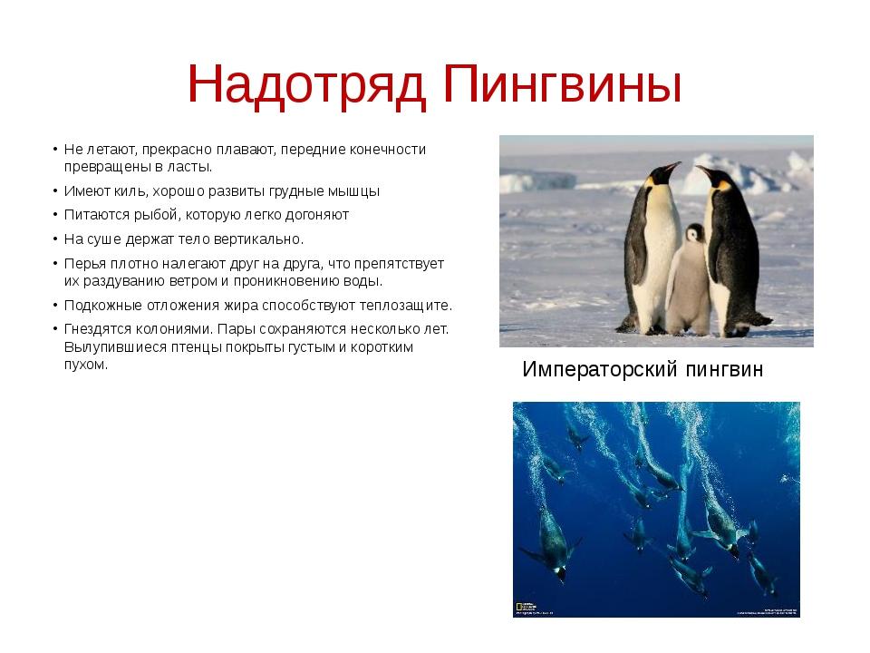 Надотряд Пингвины Не летают, прекрасно плавают, передние конечности превращен...