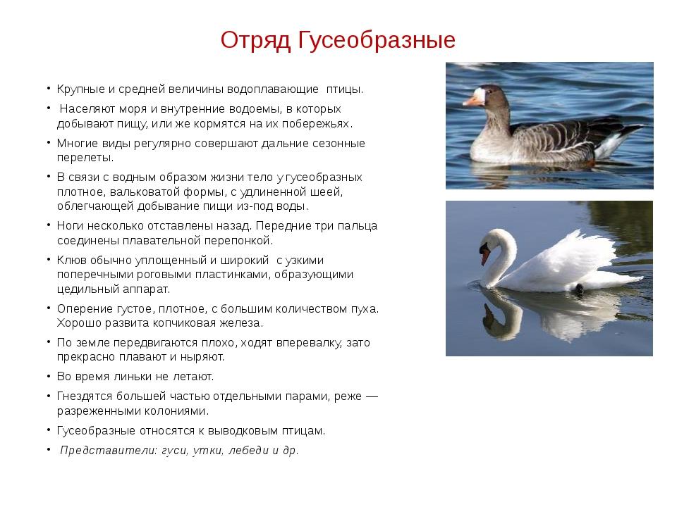 Отряд Гусеобразные Крупные и средней величины водоплавающие птицы. Населяют м...