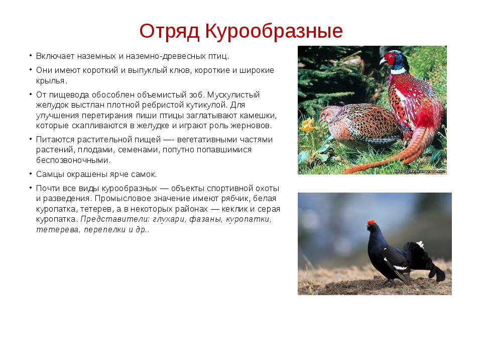 Отряд Курообразные Включает наземных и наземно-древесных птиц. Они имеют коро...