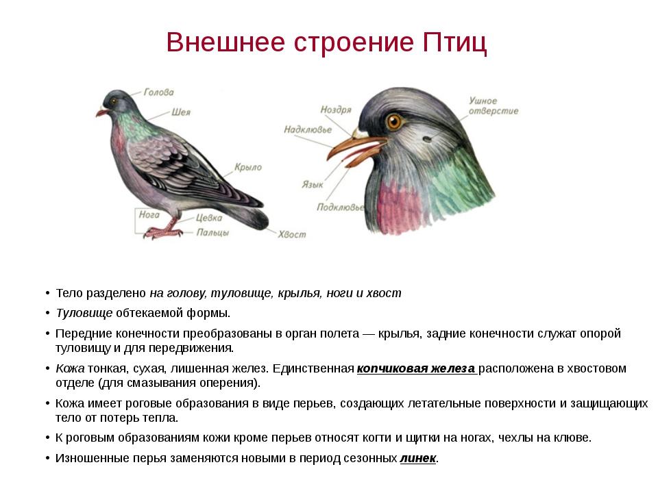 Внешнее строение Птиц Тело разделено на голову, туловище, крылья, ноги и хвос...