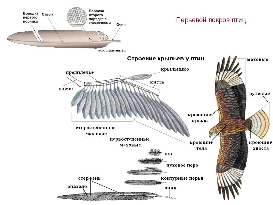 Перьевой покров птиц