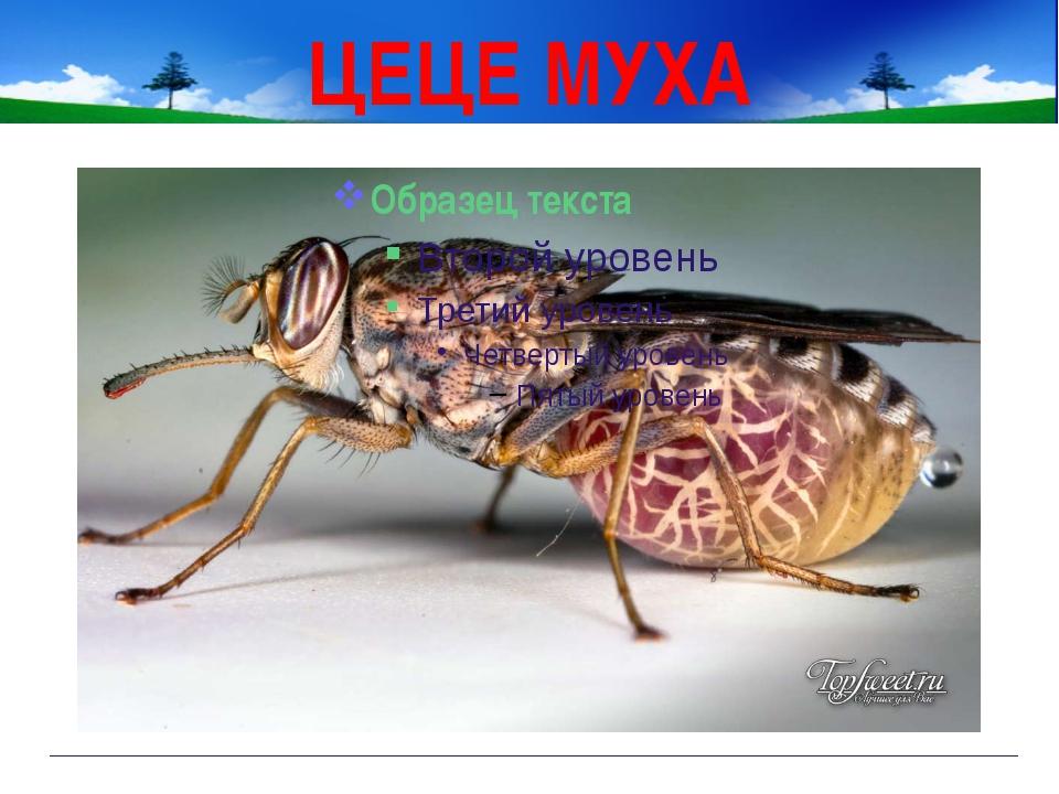 ЦЕЦЕ МУХА