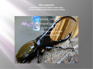 Жук-геркулес Самый большой представитель своего рода. Считается одним из круп