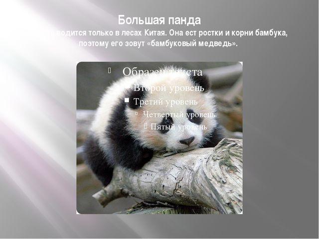 Большая панда Панда водится только в лесах Китая. Она ест ростки и корни бамб...