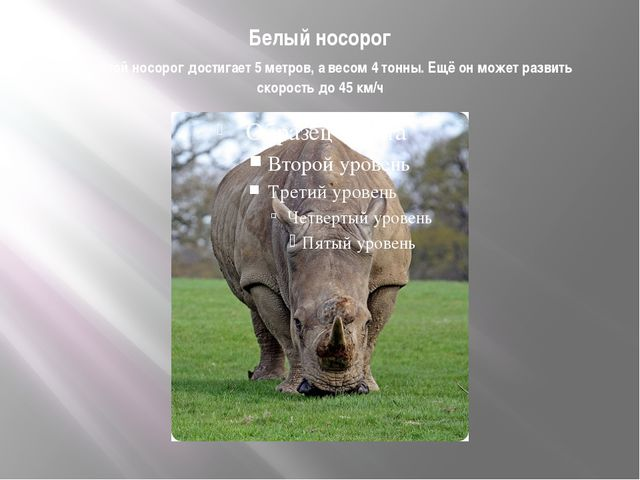 Белый носорог Высотой носорог достигает 5 метров, а весом 4 тонны. Ещё он мож...