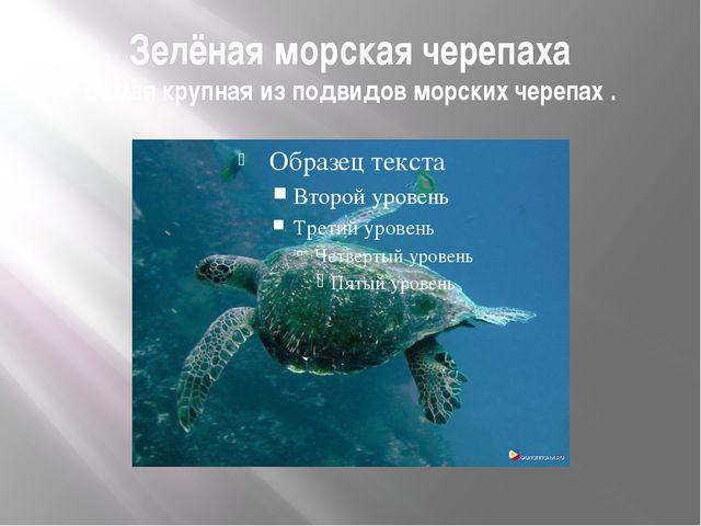 Зелёная морская черепаха Самая крупная из подвидов морских черепах .
