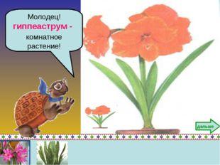 Молодец! гиппеаструм - комнатное растение! дальше