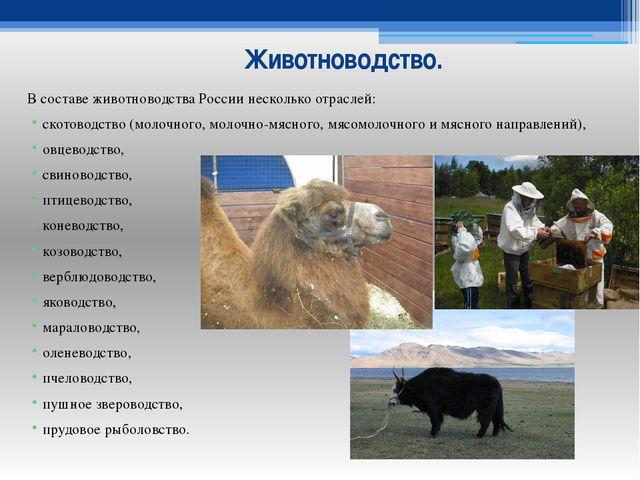 Животноводство. В составе животноводства России несколько отраслей: скотоводс...