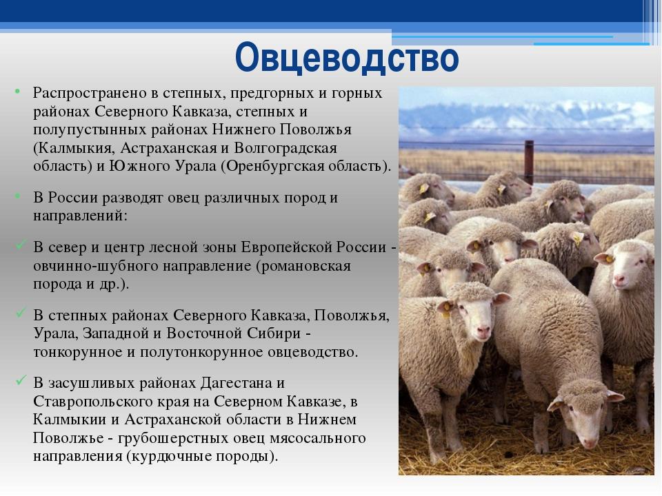 Овцеводство Распространено в степных, предгорных и горных районах Северного К...