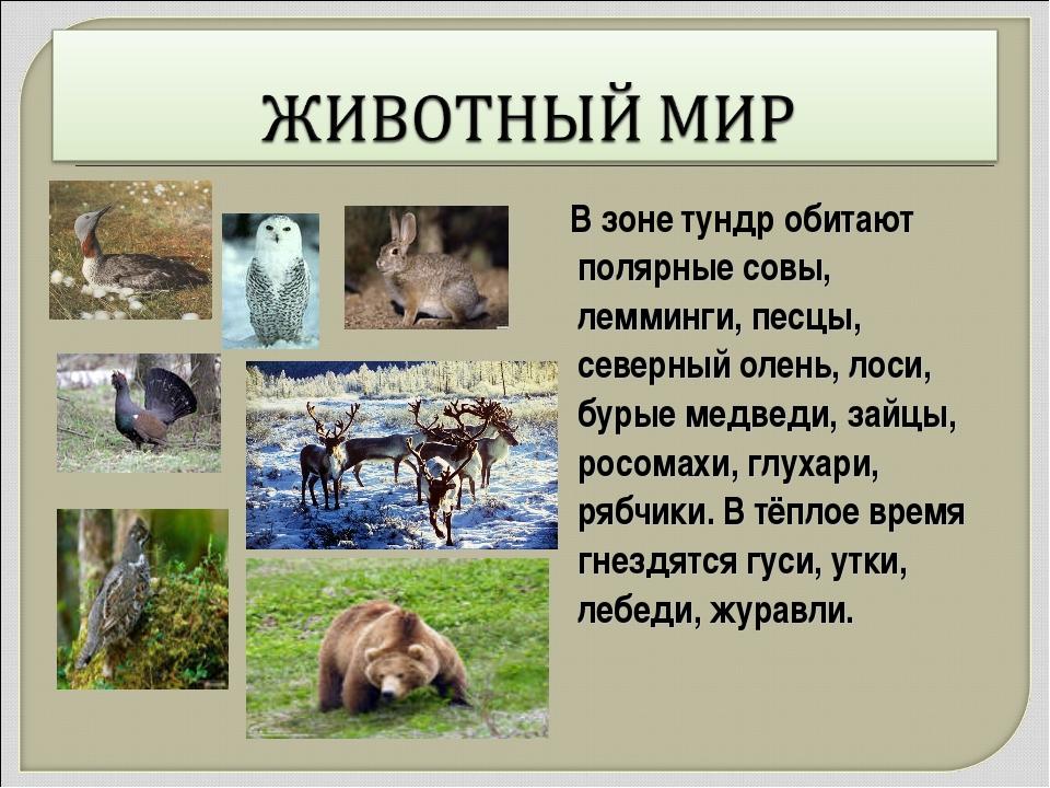 В зоне тундр обитают полярные совы, лемминги, песцы, северный олень, лоси, б...