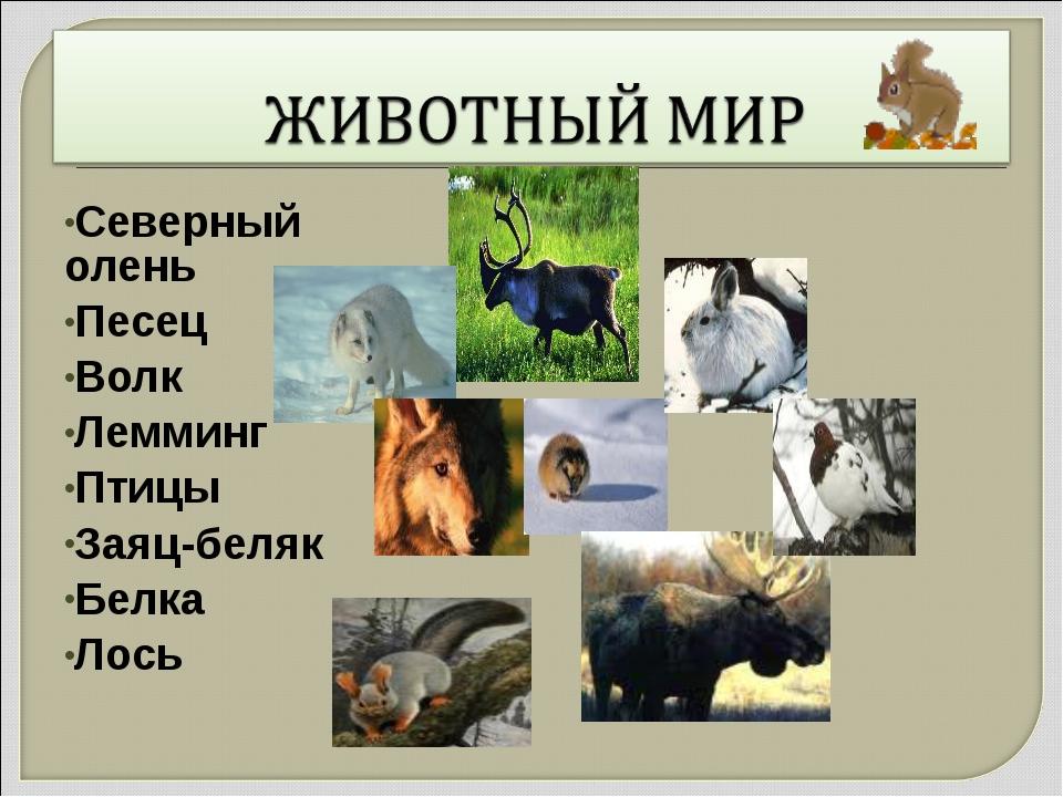 Северный олень Песец Волк Лемминг Птицы Заяц-беляк Белка Лось