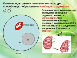 клетка ядро митохондрия Основным местом в клетке, где образуются свободные ра