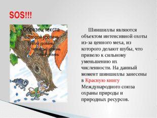 Шиншиллы являются объектом интенсивной охоты из-за ценного меха, из которого