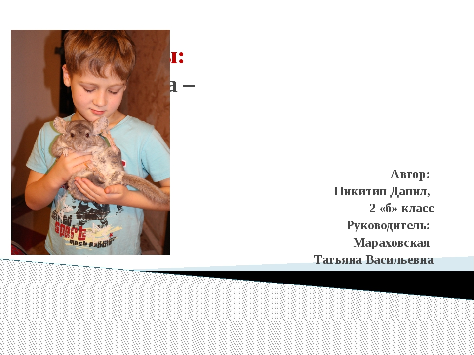 Тема работы: «Шиншилла – домашний питомец» Автор: Никитин Данил, 2 «б» класс...