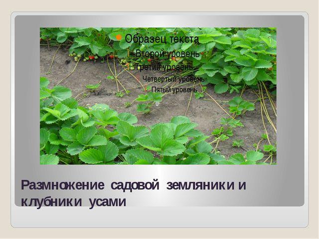 Размножение садовой земляники и клубники усами