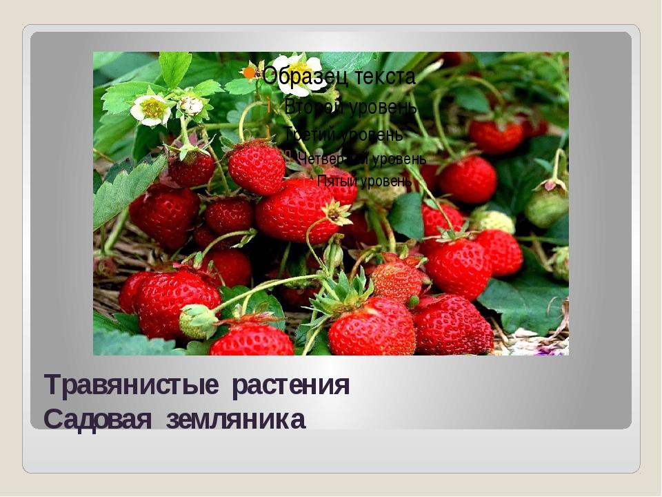 Травянистые растения Садовая земляника