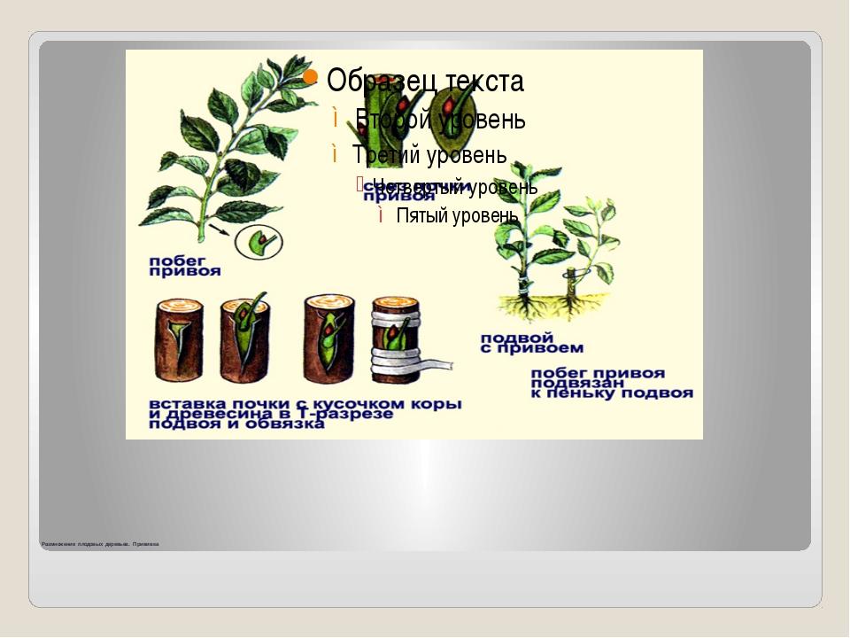 Размножение плодовых деревьев. Прививка