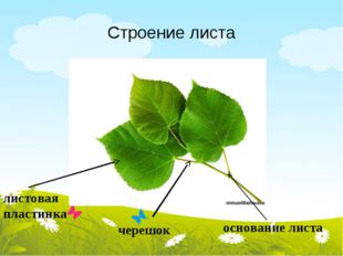 Строение листа листовая пластинка черешок основание листа