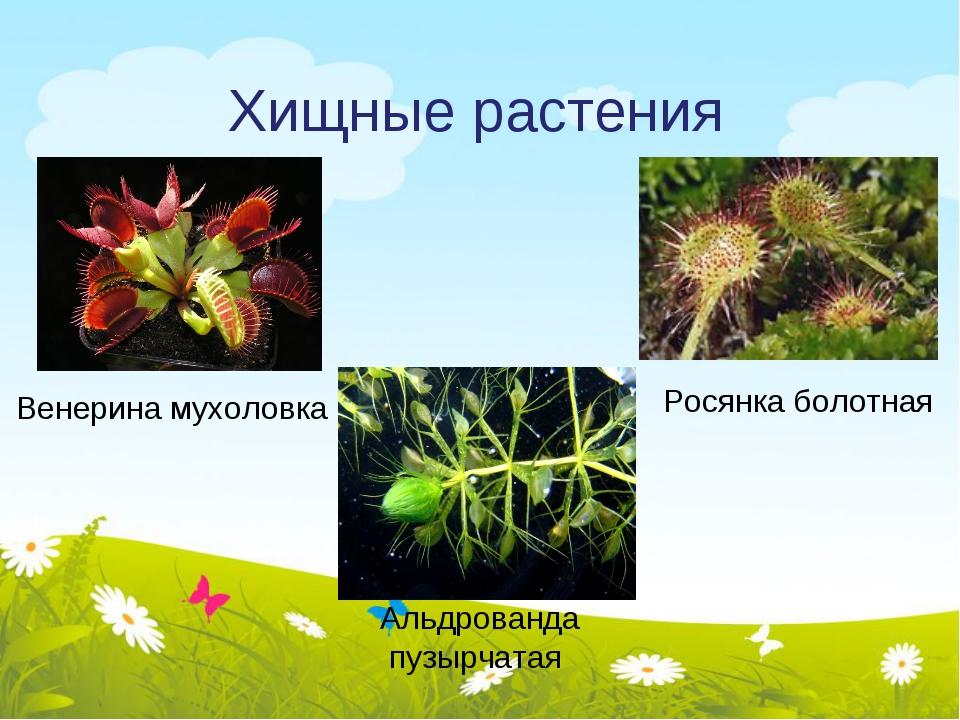 Хищные растения Росянка болотная Венерина мухоловка Альдрованда пузырчатая
