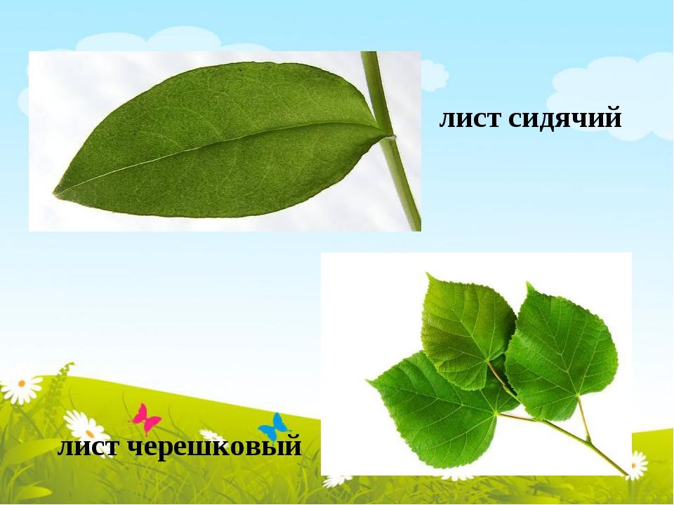 лист сидячий лист черешковый