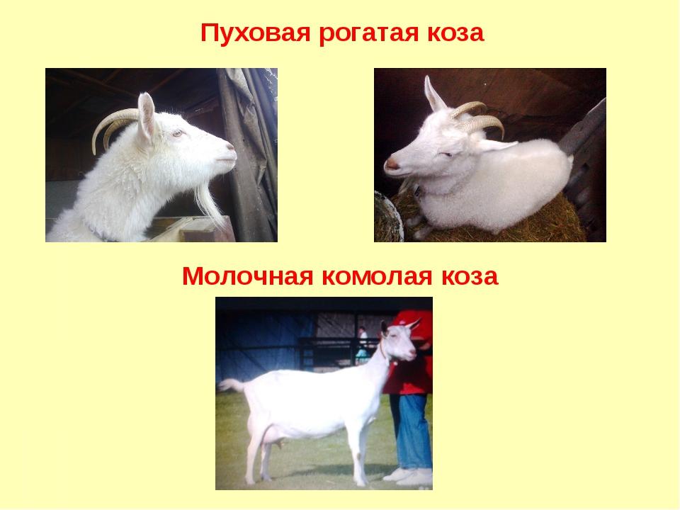 Пуховая рогатая коза Молочная комолая коза