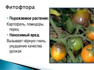 Поражаемое растение: Картофель, помидоры, перец Наносимый вред Вызывает чёрну