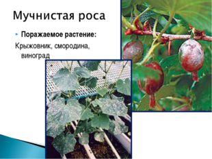 Поражаемое растение: Крыжовник, смородина, виноград