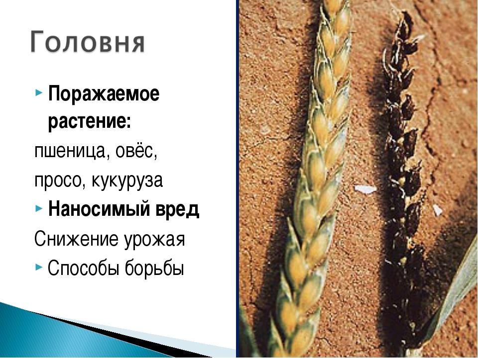 Поражаемое растение: пшеница, овёс, просо, кукуруза Наносимый вред Снижение у...