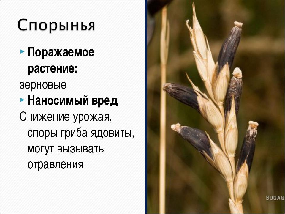 Поражаемое растение: зерновые Наносимый вред Снижение урожая, споры гриба ядо...