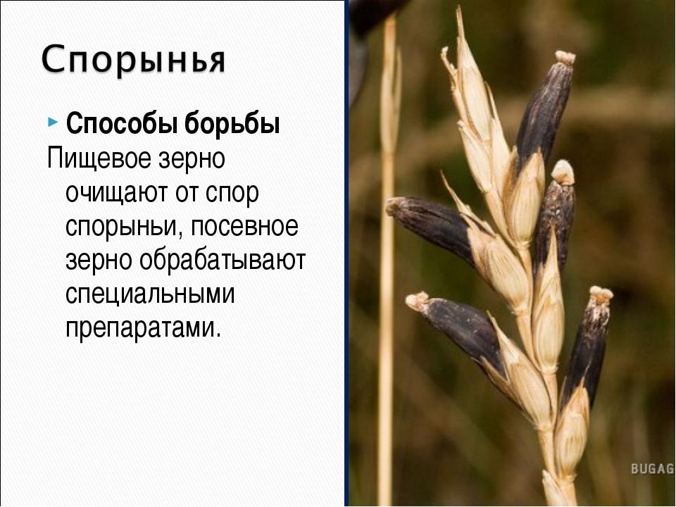 Способы борьбы Пищевое зерно очищают от спор спорыньи, посевное зерно обрабат...
